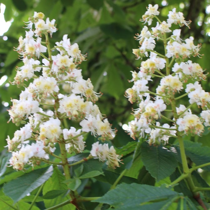 35-White-Chestnut