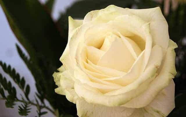 Signification rose blanche enterrement